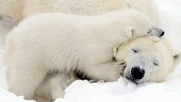 Ảnh mẹ con gấu Bắc cực sưởi ấm trái tim - Ảnh 9.