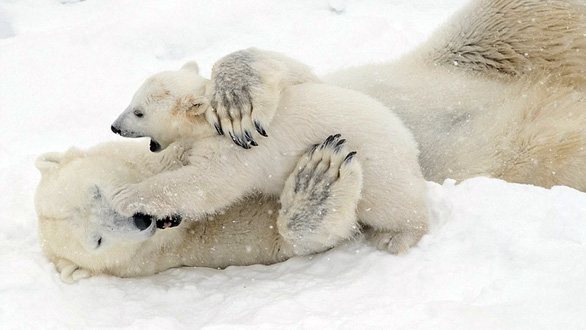 Ảnh mẹ con gấu Bắc cực sưởi ấm trái tim - Ảnh 10.