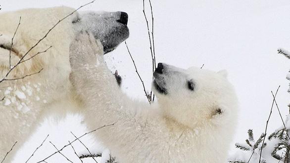 Ảnh mẹ con gấu Bắc cực sưởi ấm trái tim - Ảnh 11.