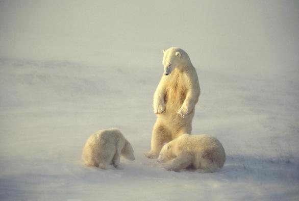 Rơi nước mắt với clip gấu Bắc Cực lục rác tìm thức ăn - Ảnh 2.