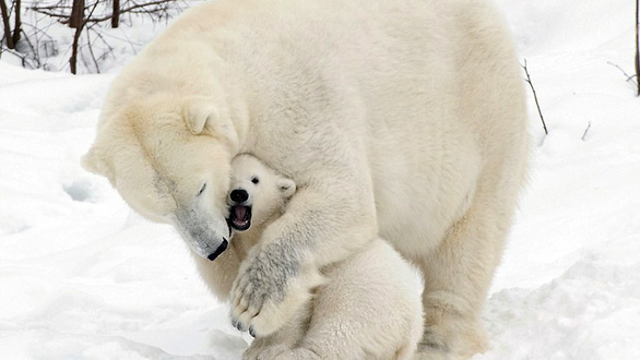 Ảnh mẹ con gấu Bắc cực sưởi ấm trái tim - Ảnh 12.