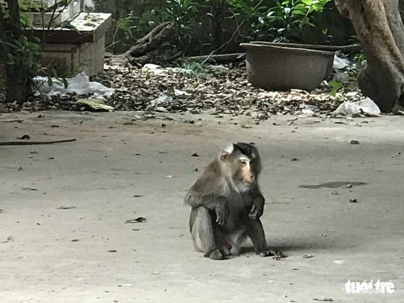 Cả xã mất ăn mất ngủ vì một chú khỉ làm giặc - Ảnh 1.