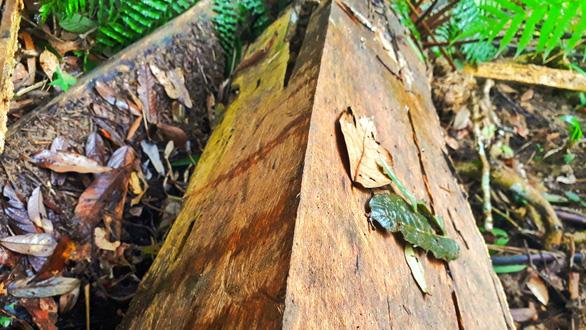 Sẽ kỷ luật cán bộ để tan nát rừng đầu nguồn Lào Cai, Yên Bái - Ảnh 6.