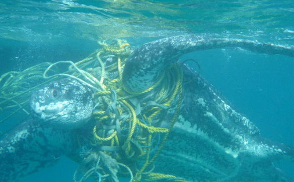 Báo động rác thải nhựa tận diệt rùa biển - Ảnh 2.