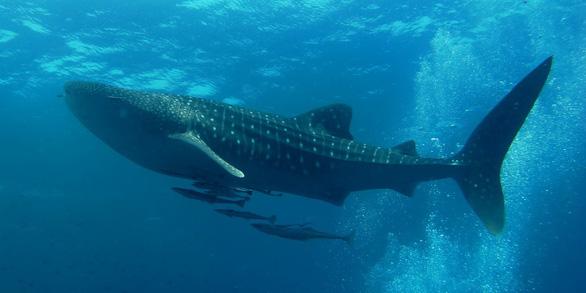 Sinh vật nào lớn nhất đại dương? - Ảnh 1.