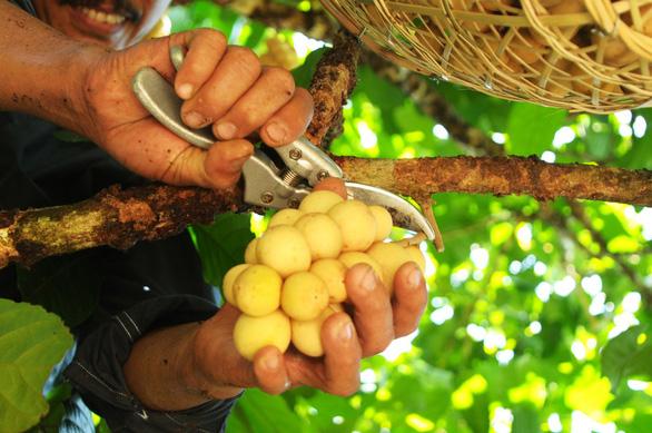 Về Tiên Phước ăn trái bòn bon - Ảnh 9.