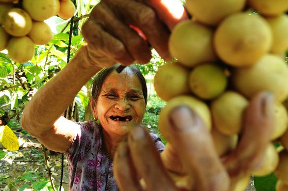 Về Tiên Phước ăn trái bòn bon - Ảnh 1.