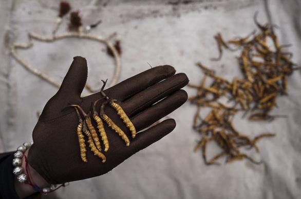 Đông trùng hạ thảo ngày càng khan hiếm vì biến đổi khí hậu - Ảnh 1.