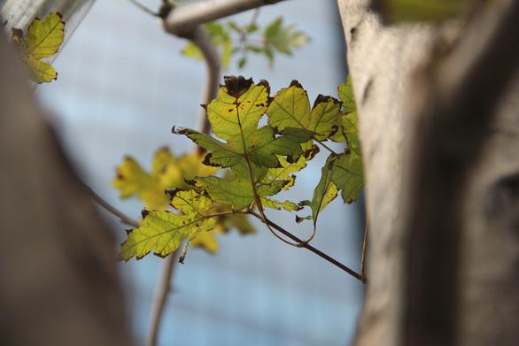 Phong lá đỏ ở Hà Nội cháy sém hoặc rụng hết lá - Ảnh 4.