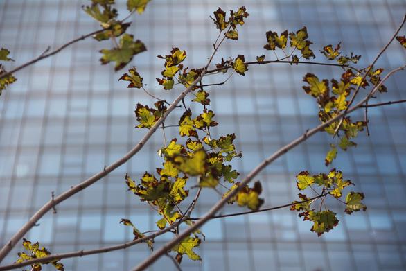 Phong lá đỏ ở Hà Nội cháy sém hoặc rụng hết lá - Ảnh 1.