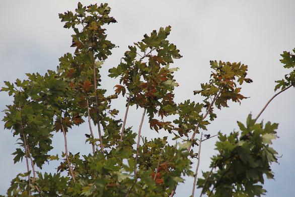 Phong lá đỏ ở Hà Nội cháy sém hoặc rụng hết lá - Ảnh 3.