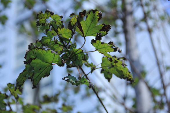 Phong lá đỏ ở Hà Nội cháy sém hoặc rụng hết lá - Ảnh 2.