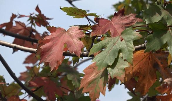 Phong lá đỏ ở Hà Nội cháy sém hoặc rụng hết lá - Ảnh 7.