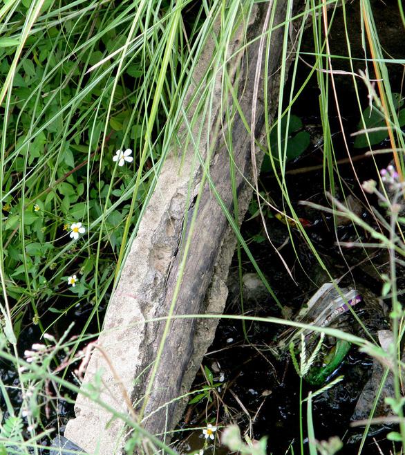 Cú nhảy kênh trượt té của chú bò lộ ra bêtông cốt… cây