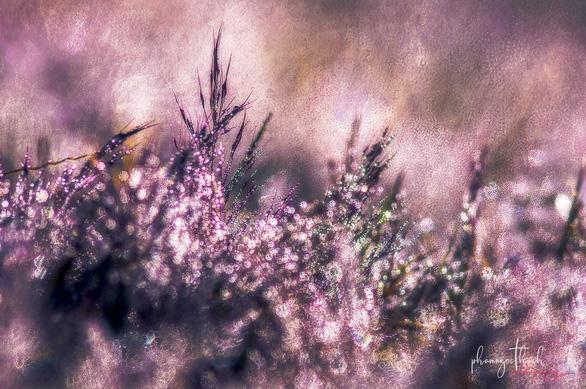 Ngắm đồi cỏ hồng Đà Lạt đẹp như cổ tích - Ảnh 4.