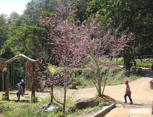 Sau thử nghiệm, Đà Lạt trồng đồi hoa anh đào Nhật Bản - Ảnh 1.