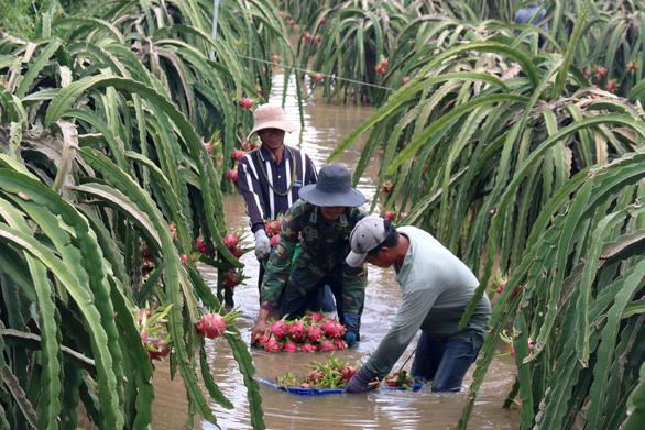 Thủ phủ thanh long Bình Thuận ngập nặng - Ảnh 1.