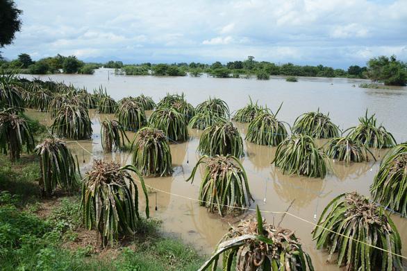 Thủ phủ thanh long Bình Thuận ngập nặng - Ảnh 3.