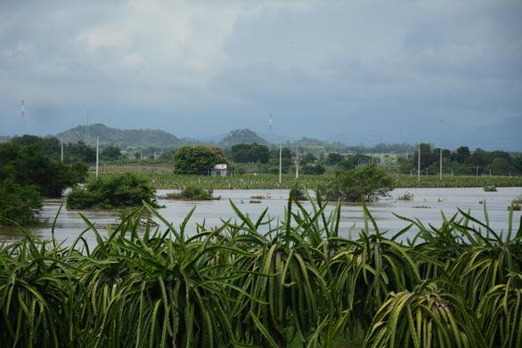 Thủ phủ thanh long Bình Thuận ngập nặng - Ảnh 2.