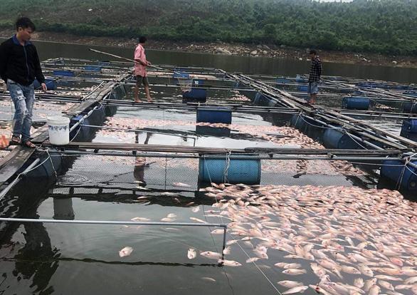 Hàng tấn cá diêu hồng ở lồng bè chết, thiệt hại tiền tỉ - Ảnh 1.
