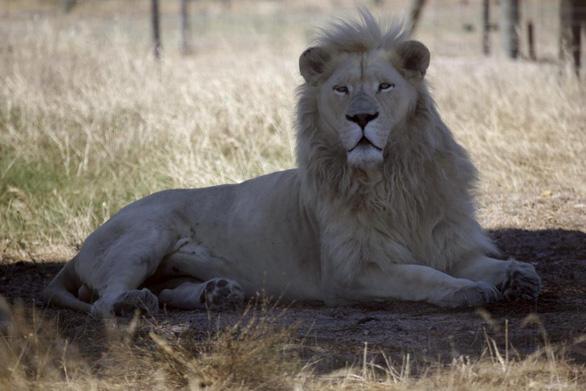 Nhóm người Việt ở Nam Phi hạ gục 40 con sư tử chỉ trong hai ngày - Ảnh 2.