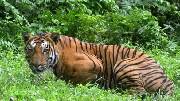 Con hổ giết 13 người ở Ấn Độ bị bắn chết - Ảnh 2.