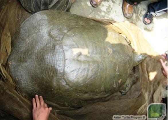 Nghiên cứu kế hoạch ghép đôi sinh sản cho rùa Hoàn Kiếm - Ảnh 1.