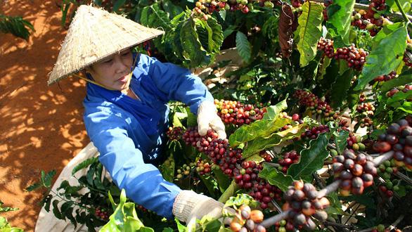 Nhiều rủi ro trong xuất khẩu cà phê - Ảnh 1.