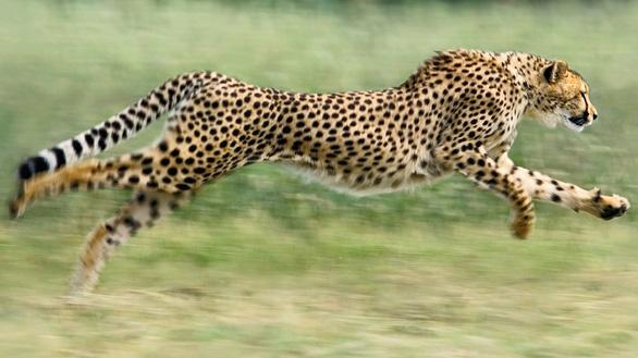Vì sao con người không cách nào chạy nhanh như... báo? - Ảnh 2.