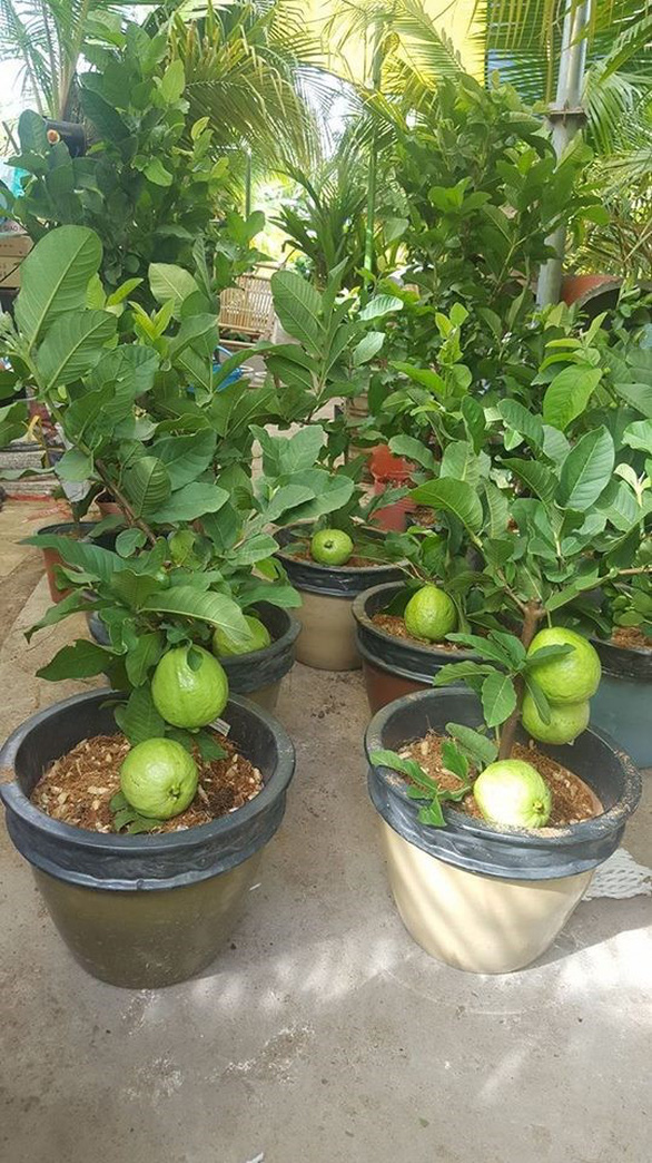 Đi Co.opmart mua cây ổi có trái giá chỉ 50.000đồng/cây. - Ảnh 1.