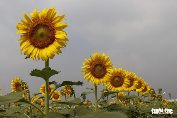 Cuối tuần đi chụp ảnh vườn hoa hướng dương ở TP.HCM - Ảnh 3.