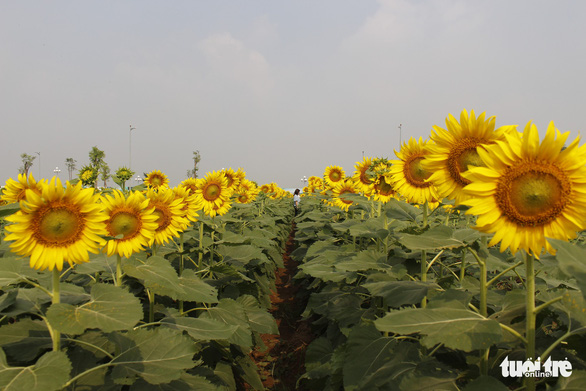 Cuối tuần đi chụp ảnh vườn hoa hướng dương ở TP.HCM - Ảnh 8.