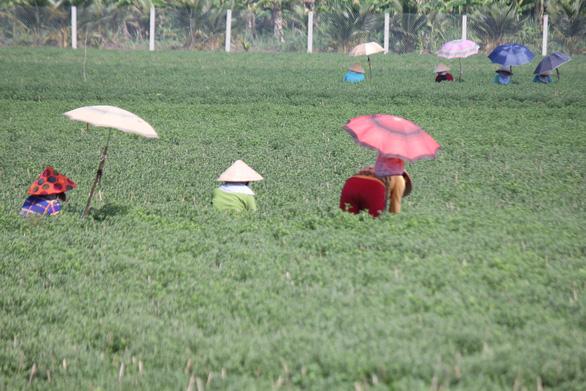 Hoa cúc tết miền Tây nở sớm do mưa - Ảnh 5.