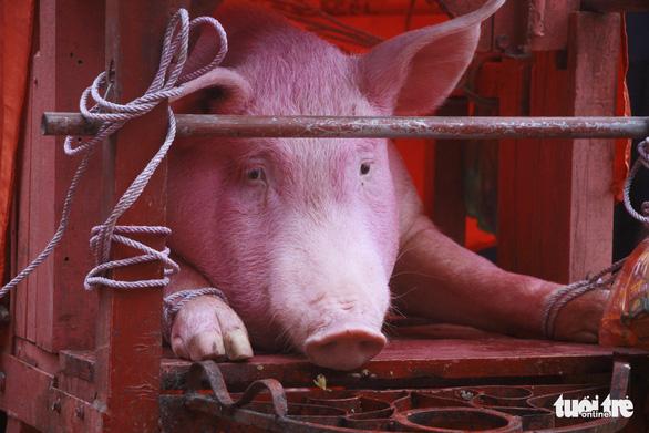 Không còn cảnh máu me ở lễ hội Chém lợn Ném Thượng - Ảnh 1.