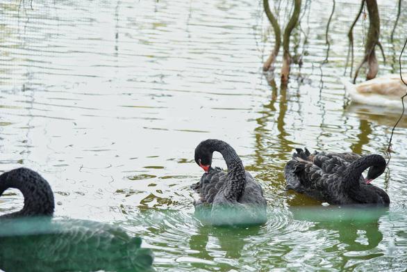 Tạm dừng thí điểm thả thiên nga ở hồ Hoàn Kiếm - Ảnh 2.