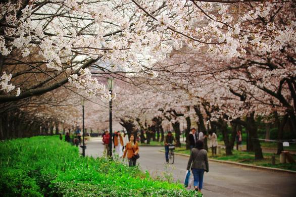 Đi Nhật Bản ngắm hoa anh đào ở đâu đẹp nhất? - Ảnh 8.