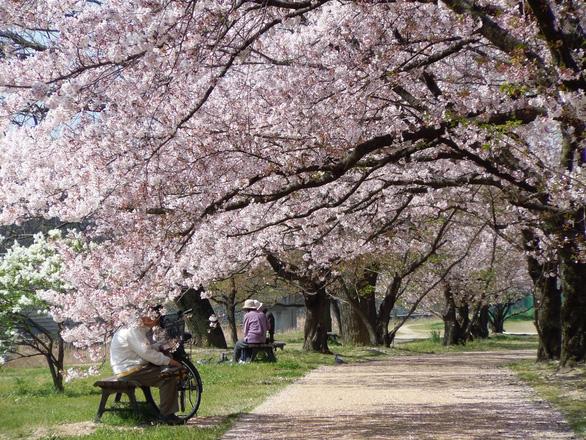 Đi Nhật Bản ngắm hoa anh đào ở đâu đẹp nhất? (phần 2) - Ảnh 4.