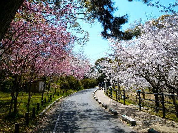 Đi Nhật Bản ngắm hoa anh đào ở đâu đẹp nhất? (phần 2) - Ảnh 5.