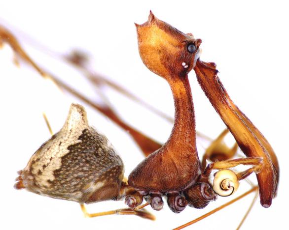 Choáng loài nhện lười săn mồi, chỉ rình xơi đồng loại - Ảnh 2.