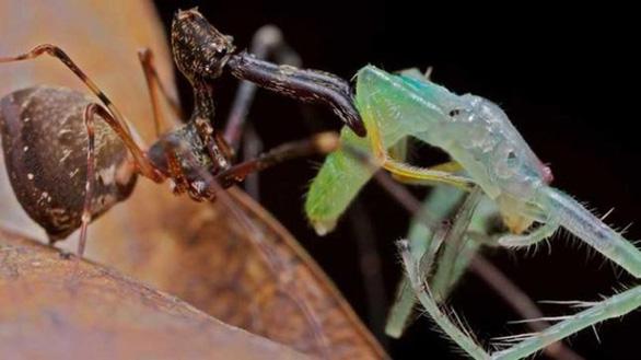 Choáng loài nhện lười săn mồi, chỉ rình xơi đồng loại - Ảnh 3.