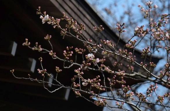 Rực rỡ mùa hoa anh đào Nhật Bản - Ảnh 2.
