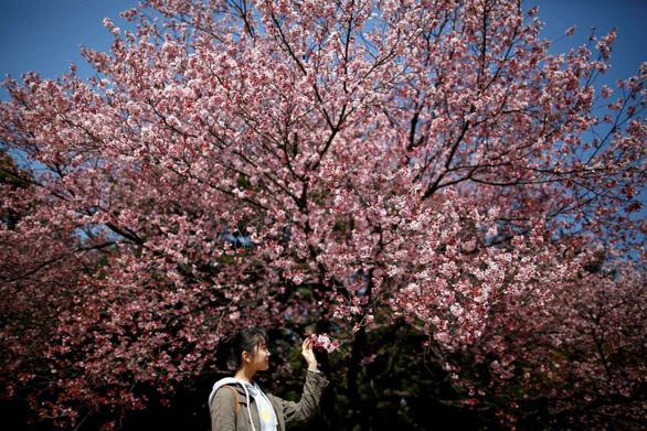 Rực rỡ mùa hoa anh đào Nhật Bản - Ảnh 3.