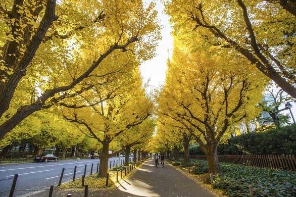 Độc đáo con đường rợp bóng bạch quả ở Nhật Bản - Ảnh 6.