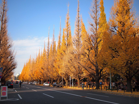 Độc đáo con đường rợp bóng bạch quả ở Nhật Bản - Ảnh 2.