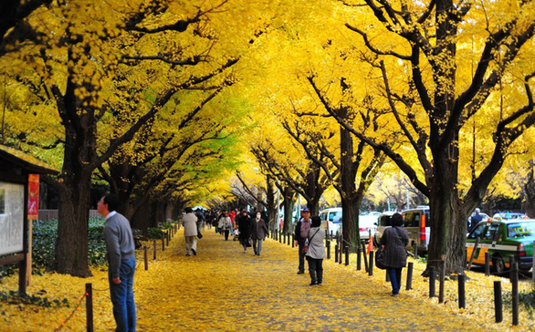Độc đáo con đường rợp bóng bạch quả ở Nhật Bản - Ảnh 8.