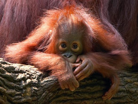 Những động vật bên bờ tuyệt chủng - Ảnh 2.