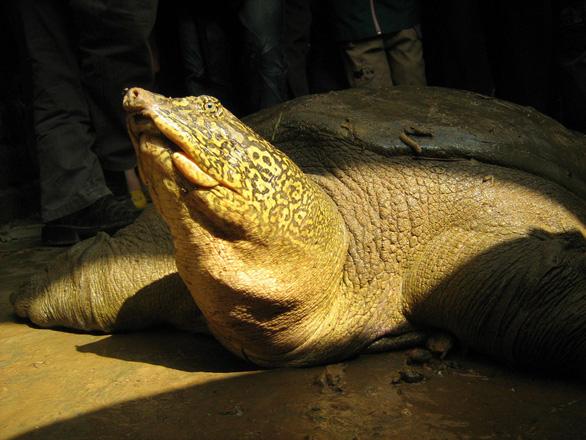 Đã tìm được họ hàng cụ rùa hồ Gươm ở Sơn Tây? - Ảnh 1.