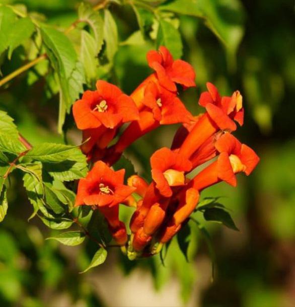 Nhà rực rỡ xanh mát nhờ các giàn hoa leo - Ảnh 3.