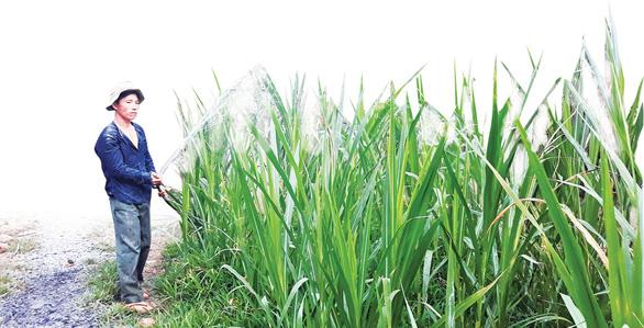 Chuyển đổi đất lúa sang trồng cỏ nuôi bò - Ảnh 3.