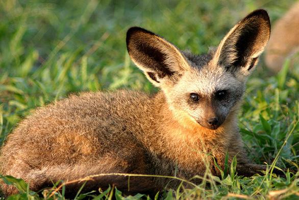 Lạ kỳ thú có bộ mặt cười, hình dáng nửa lừa nửa thỏ - Ảnh 4.